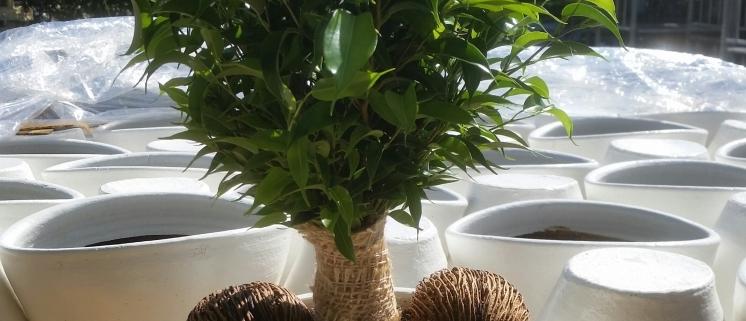 Ficus op stam