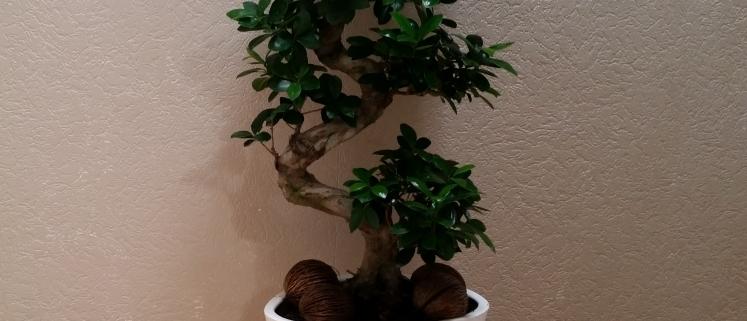 Bonsai (Ficus Ginseng)