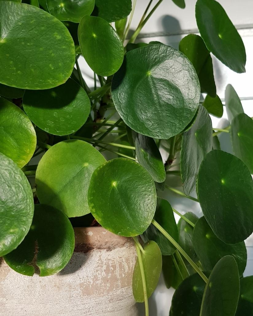 Pannekoekplant